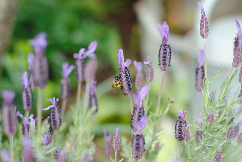 Bee-on-lavender