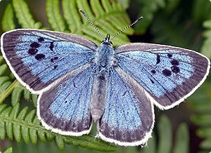 Butterfly_Large-Blue-by-David-Simcox