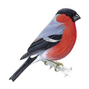 Bullfinch_male_300_tcm9-139734_v3